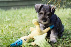 ミックス犬,灰色,テリア