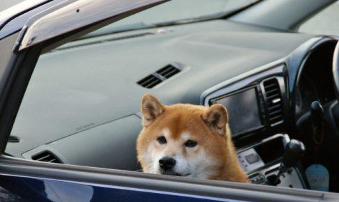 ドライブ柴犬