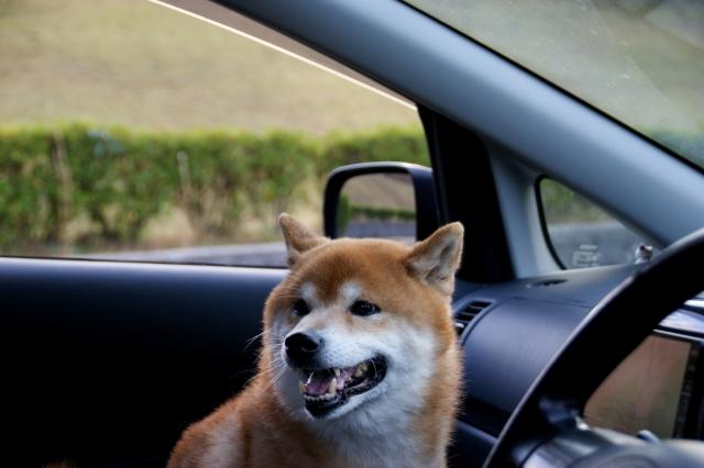 ドライブ,柴犬
