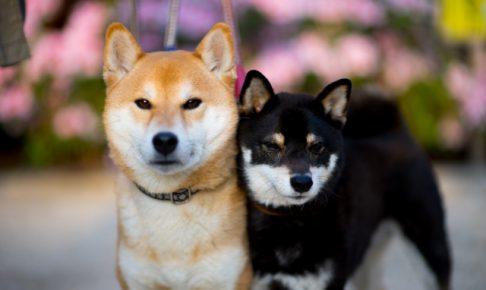 柴犬,茶、黒