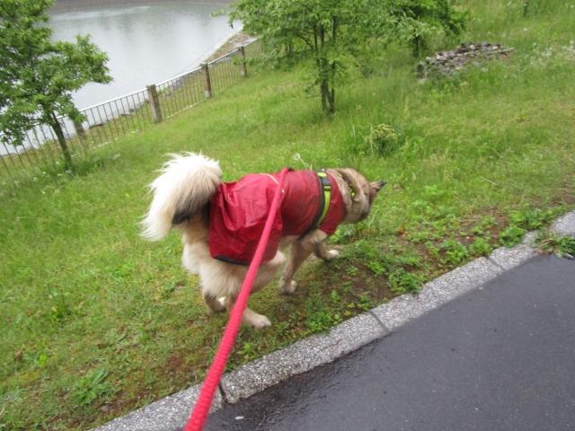 雨,散歩,カッパ