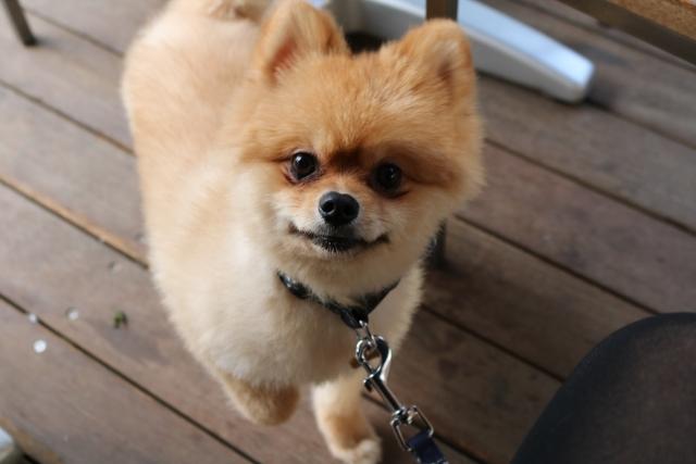 ポメラニアン,柴犬