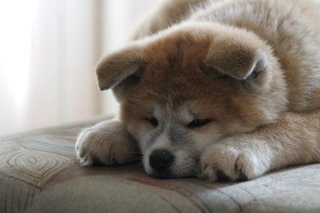 秋田犬.大型犬.日本犬子犬.お昼寝.もこもこ.