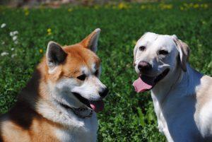 秋田犬.大型犬.日本犬ラブラドールレトリバー