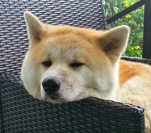 秋田犬.大型犬.日本犬.椅子