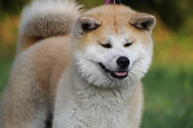 秋田犬.大型犬.日本犬.もこもこ
