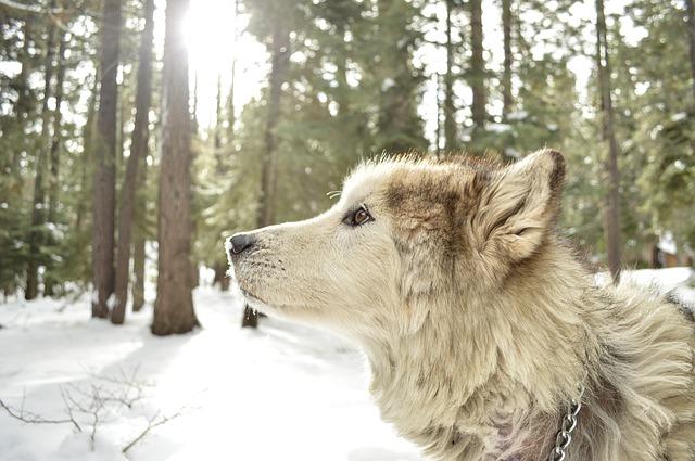 アラスカんマラミュート.大型犬.犬ぞり.ハスキー