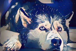 シベリアンハスキー.アラスカんマラミュート.大型犬.犬ぞり.ハスキー