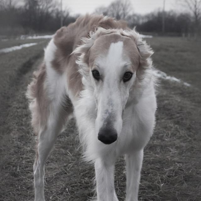 犬,ボルゾイ,大型犬
