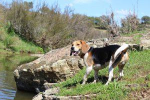 ビーグル.中型犬.たれ耳.散歩