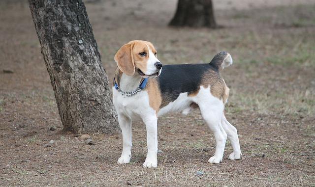 ビーグル.中型犬.たれ耳.首輪