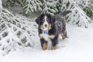 バーニーズマウンテンドック,雪,冬,長毛