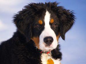バーニーズマウンテンドック,子犬