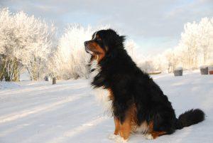 バーニーズマウンテンドック,雪,犬