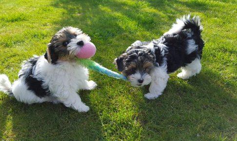 ヨークシャーテリア,犬,子犬