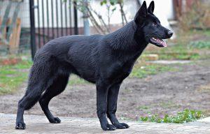 ジャーマンシェパード,黒,犬