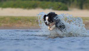 ボーダーコリー,犬,川