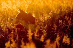 ボーダーコリー,犬,夕焼け