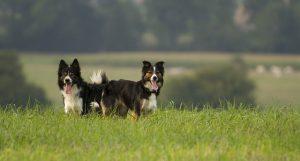 ボーダーコリー,犬,外
