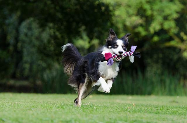 ボーダーコリー,犬,おもちゃ