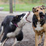 ボーダーコリー,犬,喧嘩
