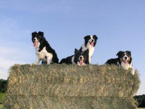 ボーダーコリー,犬,牧羊犬