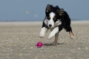 ボーダーコリー,犬,ボール