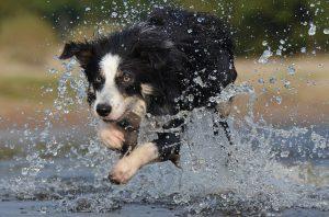 ボーダーコリー,犬,水しぶき
