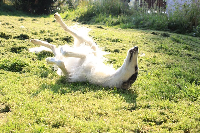 ボルゾイ,大型犬,細い犬.芝生