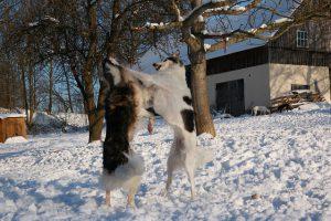 ボルゾイ,大型犬,細い犬.喧嘩