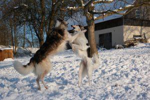 ボルゾイ,大型犬,細い犬.けんか.雪