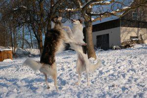 ボルゾイ,大型犬,細い犬.雪.喧嘩