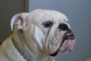 ブルドック.中型犬.ぶさかわ.鎖の首輪