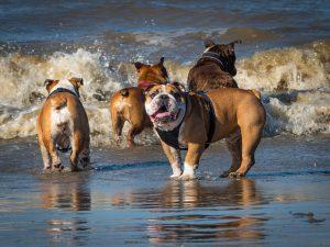 ブルドック.中型犬.ぶさかわ.海