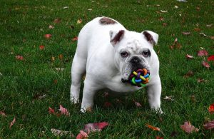 ブルドック.中型犬.ぶさかわ.白い犬.ボール