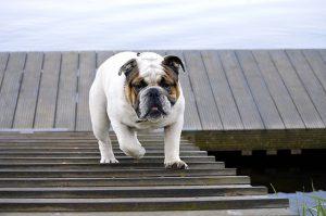 ブルドック.中型犬.ぶさかわ.橋