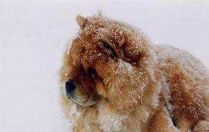 チャウチャウ.t中型犬.もふもふ.雪