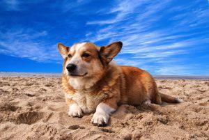 コーギー.しっぽがない.砂浜.海