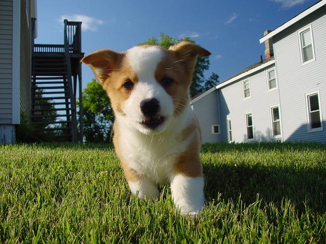 コーギー.しっぽがない.子犬