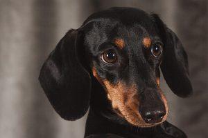 ダックスフンド.胴長犬.黒い犬
