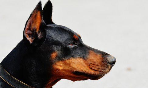 ドーベルマン.大型犬.首輪.たち耳