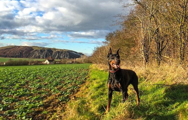 ドーベルマン.中型犬.たち耳.散歩