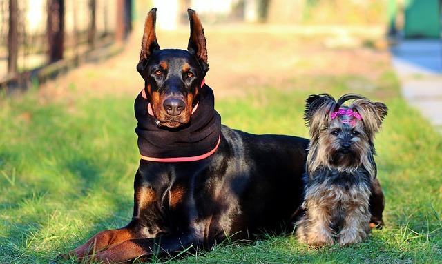 ドーベルマン.中型犬.たち耳.ヨークシャーテリア