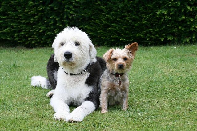 ヨークシャーテリア,犬,二匹