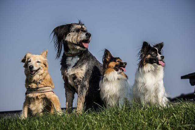 パピヨン,犬,ミックス犬