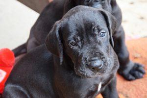 グレートデン,子犬.黒