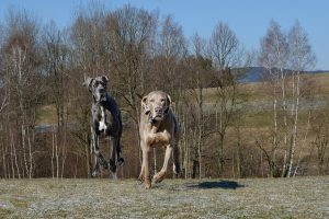 グレートデン,走る,飛行犬