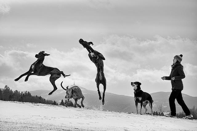 グレートデン,跳ねる,大型犬