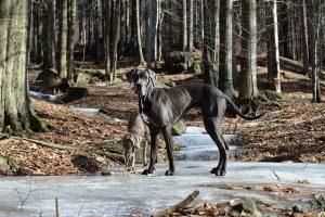 グレートデン,大型犬