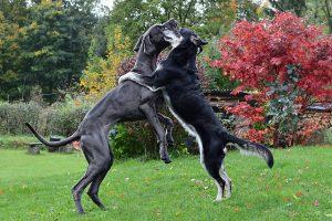グレートデン,黒い犬.大型犬
